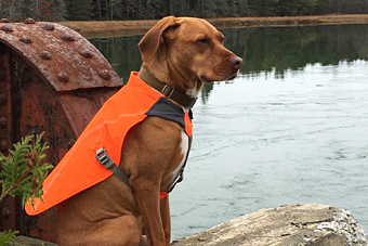 Dog wearing orange vest