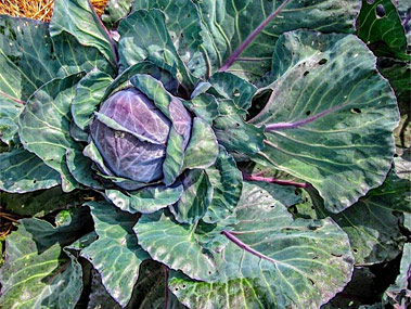 Cabbage grown in the community garden